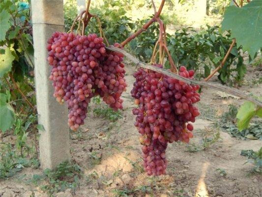 Велес Виноград