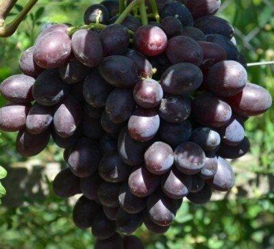 Каталония Виноград